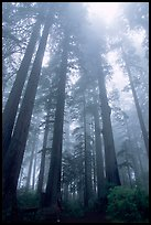 Visitor dwarfed by Giant Redwood trees. Redwood National Park, California, USA. (color)