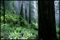 Ferns and redwoods in mist, Del Norte. Redwood National Park, California, USA.