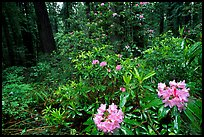 Rododendrons in bloom in a redwood grove, Del Norte. Redwood National Park, California, USA. (color)