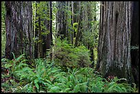 Ferns and trunks of giant redwood trees, Jedediah Smith Redwoods State Park. Redwood National Park ( color)