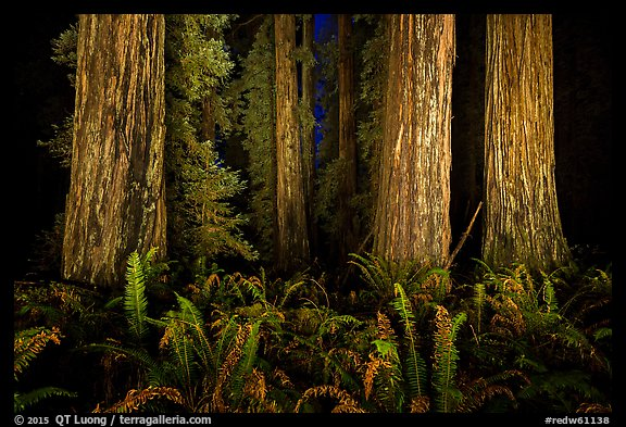 Ancient redwoods lighted at night, Jedediah Smith Redwoods State Park. Redwood National Park (color)