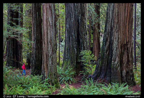 Visitor looking, Stout Grove, Jedediah Smith Redwoods State Park. Redwood National Park (color)