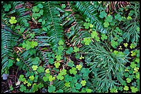 Ground close-up of clovers, shamrocks, ferns, and redwood needles, Stout Grove, Jedediah Smith Redwoods State Park. Redwood National Park ( color)