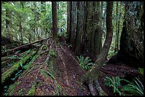 Fallen redwood as nurse log, Simpson-Reed Grove, Jedediah Smith Redwoods State Park. Redwood National Park ( color)