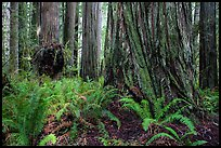 Ferns and giant redwoods, Simpson-Reed Grove, Jedediah Smith Redwoods State Park. Redwood National Park ( color)