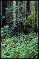 Luxuriant ferns and redwoods, Simpson-Reed Grove, Jedediah Smith Redwoods State Park. Redwood National Park ( color)