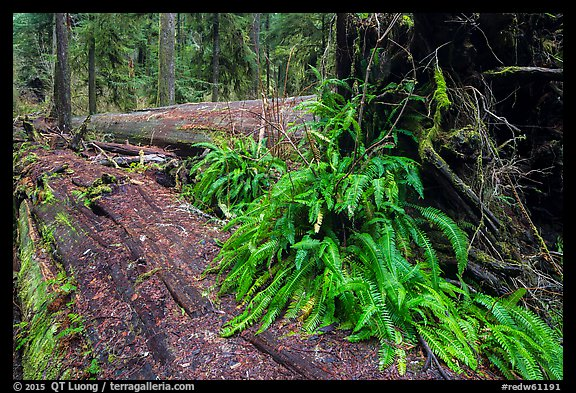 Giant fallen redwood trees, Simpson-Reed Grove, Jedediah Smith Redwoods State Park. Redwood National Park (color)