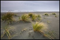Dune grass, Gold Bluffs Beach, Prairie Creek Redwoods State Park. Redwood National Park ( color)