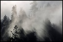 Trees and lifting fog. Redwood National Park ( color)