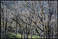 Oaks in winter. Redwood National Park ( color)