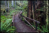 Bridge, James Irwing Trail, Prairie Creek Redwoods State Park. Redwood National Park ( color)