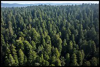 Aerial view of redwood forest. Redwood National Park ( color)