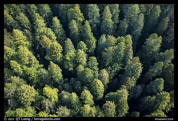 Aerial view of redwood forest canopy. Redwood National Park (color)