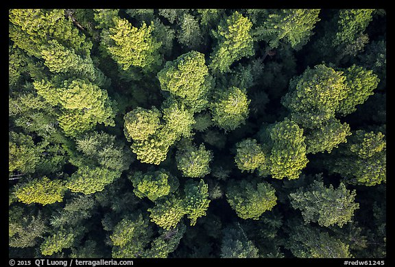 Aerial view of redwood tree canopy. Redwood National Park (color)