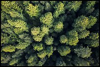 Aerial view of redwood tree canopy. Redwood National Park ( color)