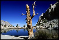 Tree skeleton, Mirror Lake, and Thor Peak, Inyo National Forest. California, USA (color)