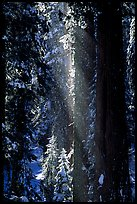 Snow falling from sequoias. Sequoia National Park, California, USA.