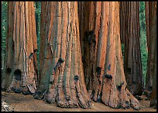 Sequoia (Sequoiadendron giganteum) truncs. Sequoia National Park, California, USA. (color)