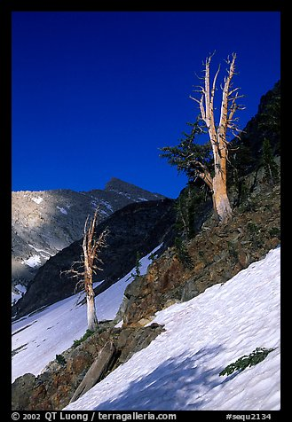 Bare trees above Mineral King, early summer. Sequoia National Park (color)