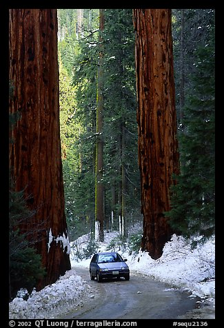 Road and Sequoias in winter. Sequoia National Park, California, USA.
