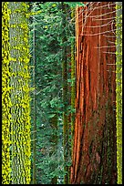 Mosaic of pines, sequoias, and mosses. Sequoia National Park, California, USA.