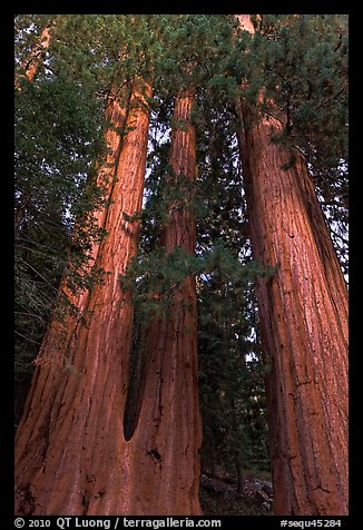 Cluster of giant sequoia trees. Sequoia National Park (color)