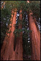 Cluster of giant sequoia trees. Sequoia National Park, California, USA.