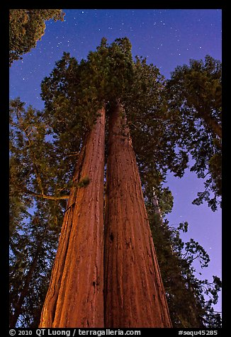 Sequoia trees at night under stary sky. Sequoia National Park (color)