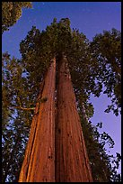 Sequoia trees at night under stary sky. Sequoia National Park, California, USA. (color)