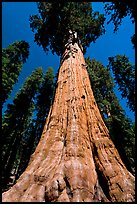 Sequoia named General Sherman, most massive living thing. Sequoia National Park, California, USA.