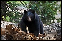 Black bear, frontal portrait. Sequoia National Park, California, USA. (color)