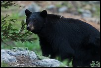 Black bear, Lodgepole. Sequoia National Park, California, USA. (color)