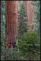 Giant Sequoias in the Giant Forest. Sequoia National Park, California, USA. (color)
