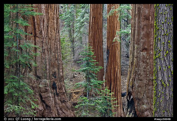 Red bark of Giant Sequoia contrast with green leaves. Sequoia National Park (color)