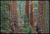 Red bark of Giant Sequoia contrast with green leaves. Sequoia National Park, California, USA. (color)