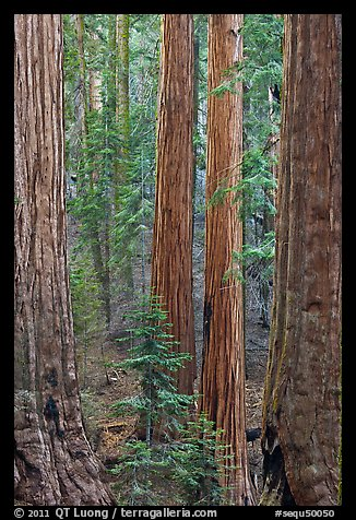 Sequoia forest. Sequoia National Park (color)
