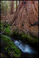 Brook at the base of giant sequoia tree. Sequoia National Park, California, USA.