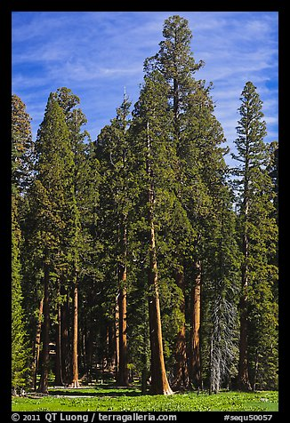 Sequoia trees at the edge of Round Meadow. Sequoia National Park (color)