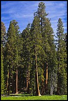 Sequoia trees at the edge of Round Meadow. Sequoia National Park, California, USA.