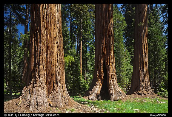 Group of Giant Sequoias, Round Meadow. Sequoia National Park (color)