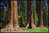 Group of Giant Sequoias, Round Meadow. Sequoia National Park, California, USA. (color)