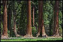 Visitor walking on boardwalk at the base of Giant Sequoias. Sequoia National Park ( color)