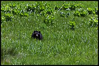 Black bear in Round Meadow. Sequoia National Park, California, USA. (color)
