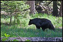 Black bar in forest, Round Meadow. Sequoia National Park ( color)