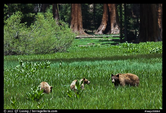 Mother and bear cubs with sequoia trees behind. Sequoia National Park (color)