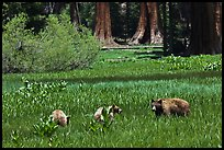 Mother and bear cubs with sequoia trees behind. Sequoia National Park, California, USA. (color)