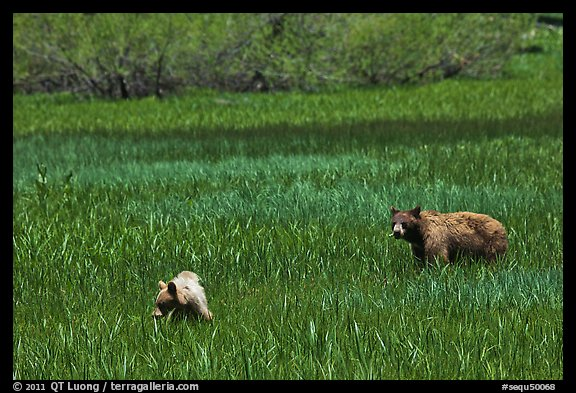 Mother bear and cub grazing in Round Meadow. Sequoia National Park (color)