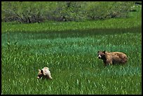 Mother bear and cub grazing in Round Meadow. Sequoia National Park, California, USA. (color)
