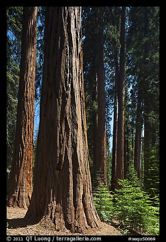 Sunlit sequoia forest. Sequoia National Park (color)