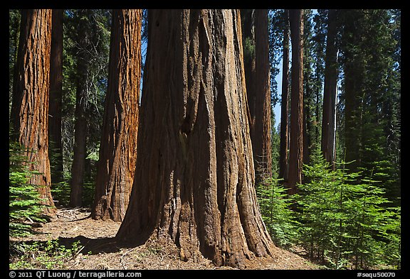 Sunlit sequoia trees. Sequoia National Park (color)